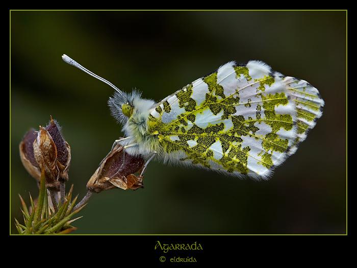 52_mariposa_web