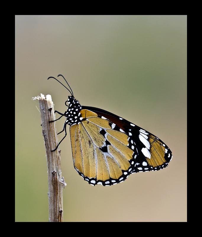 mariposa_tigre2