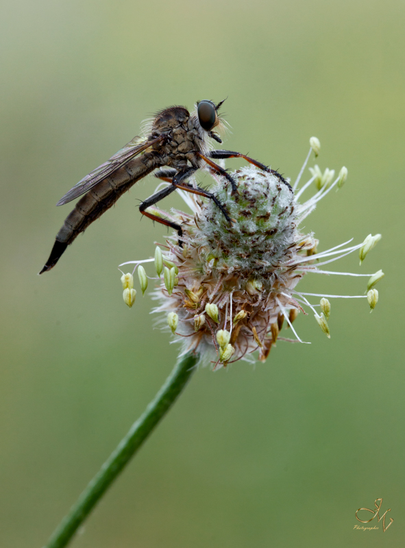 mosca-asesina
