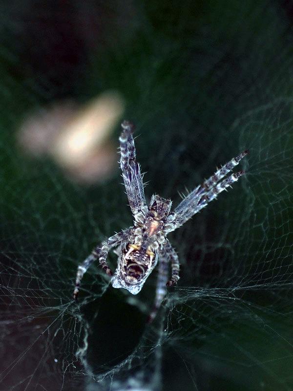 spider25