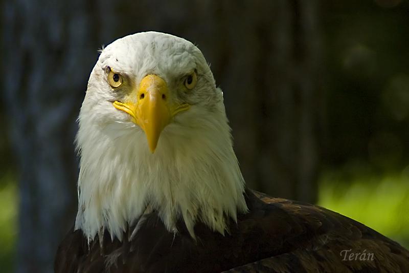 Aguila-calva-6756
