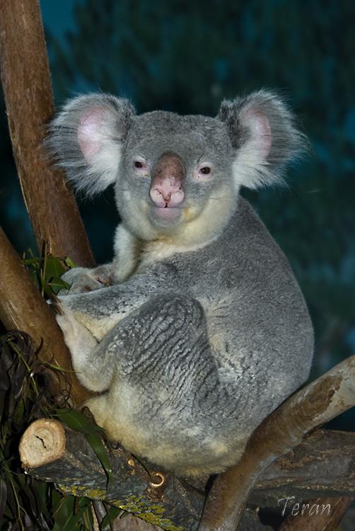 Koala-0733