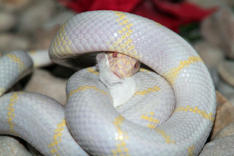 albina1