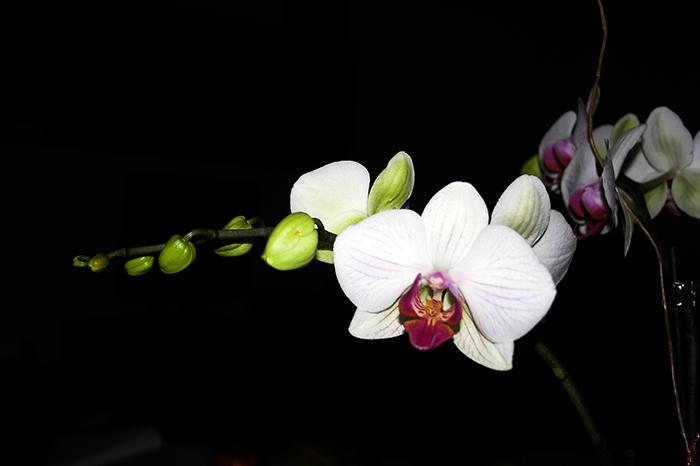 orquidea_phalaenopsis