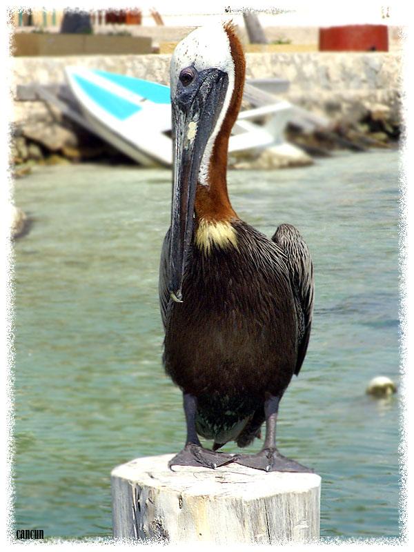 pelicanorr_copia