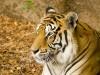 tigre_canario.jpg