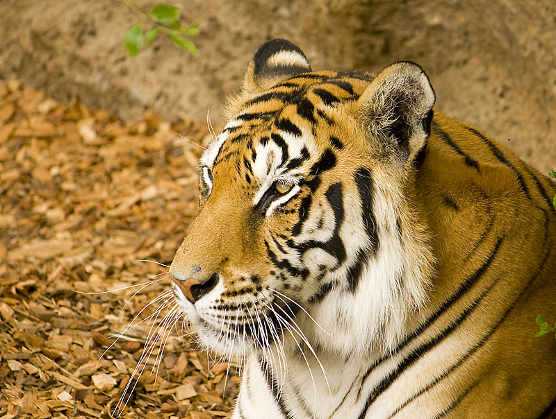 tigre_canario